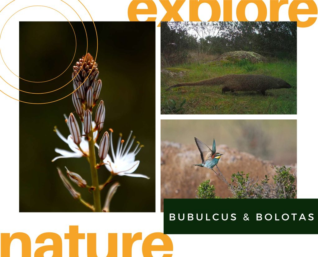 field guide of Bubulcus & Bolotas wildelife